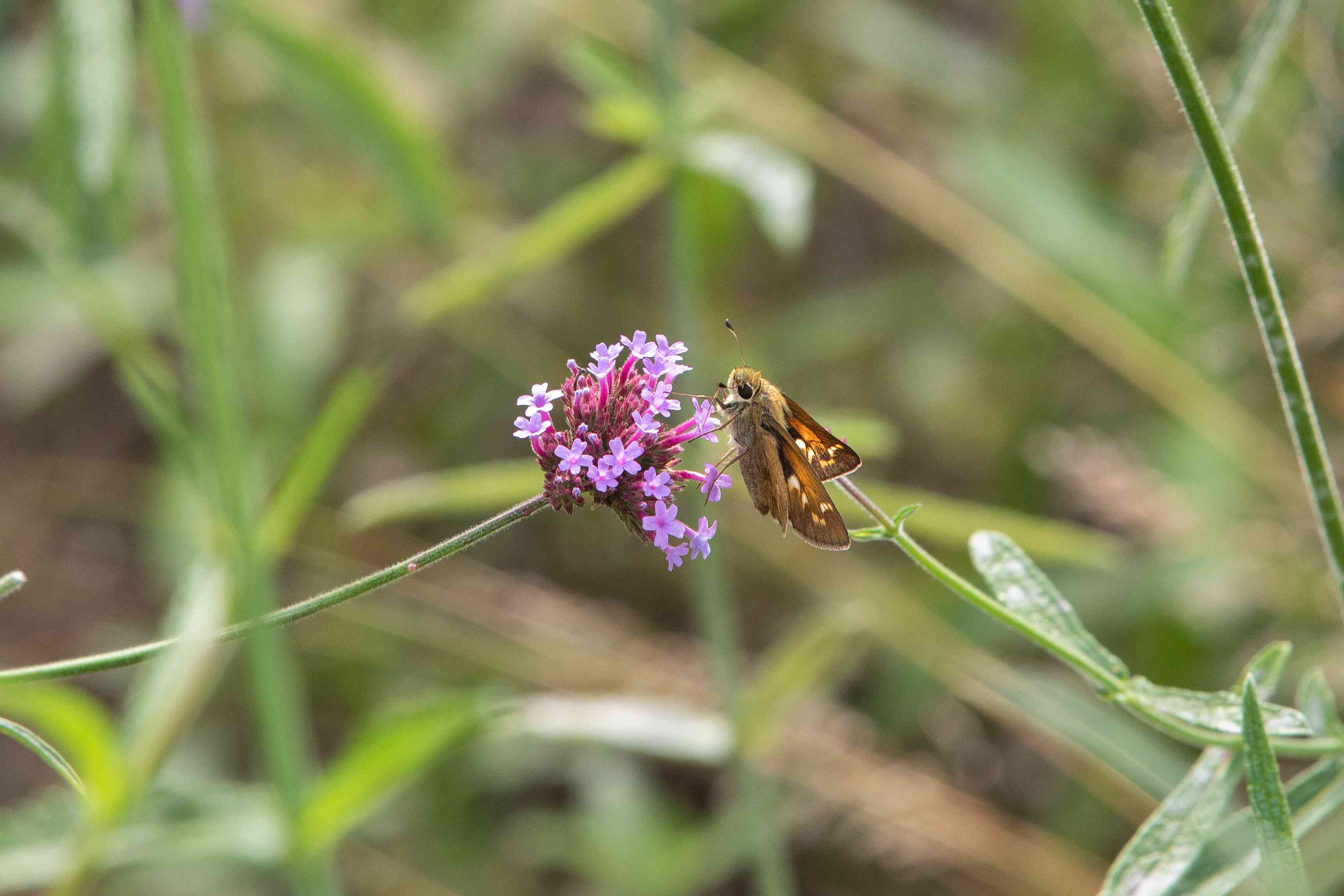 butterfly on tall verbena