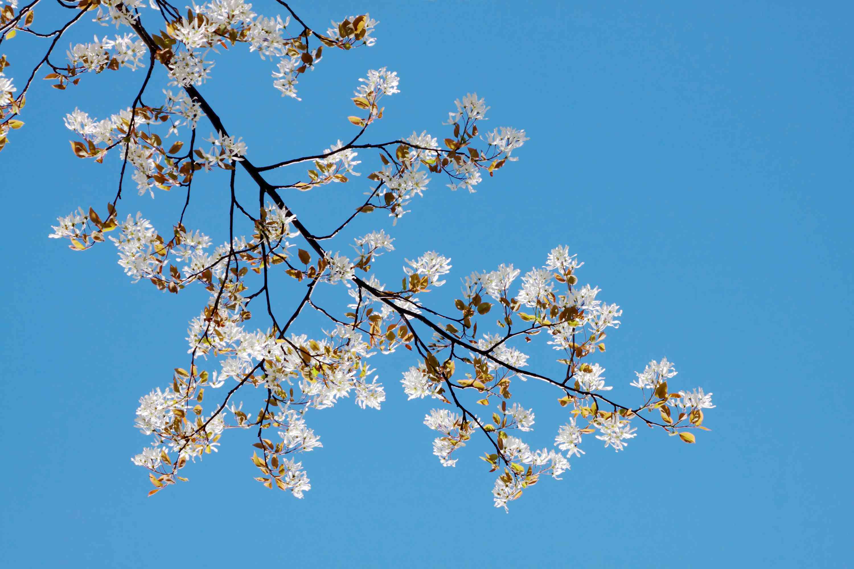 Rama de árbol de Serviceberry con florece
