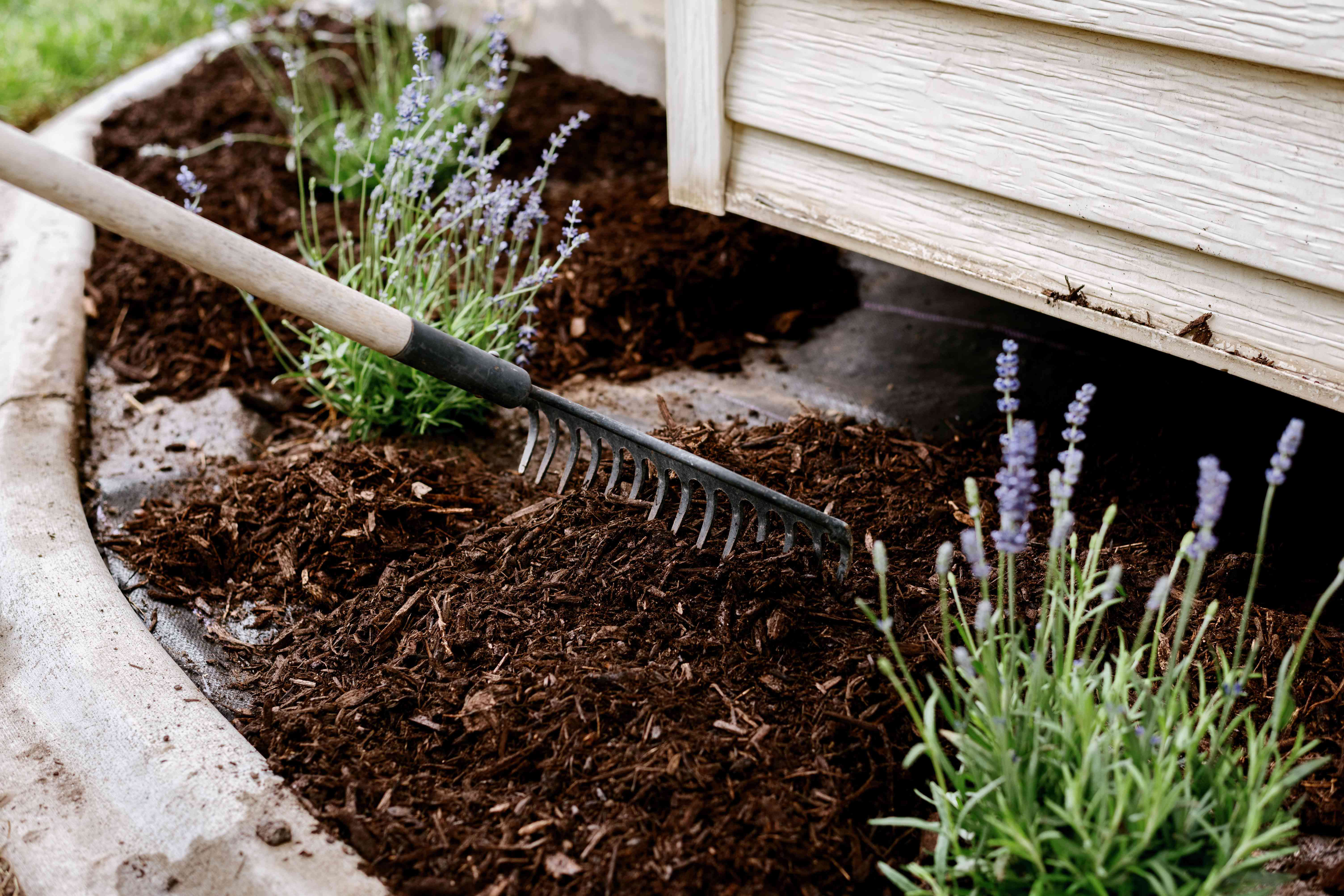 Mulch being spread with rake on side of house next to lavender plants