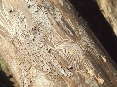 Dutch elm disease on a tree trunk