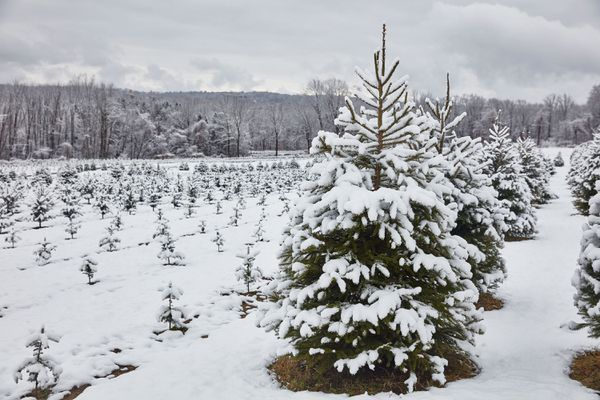 Evergreen Christmas trees