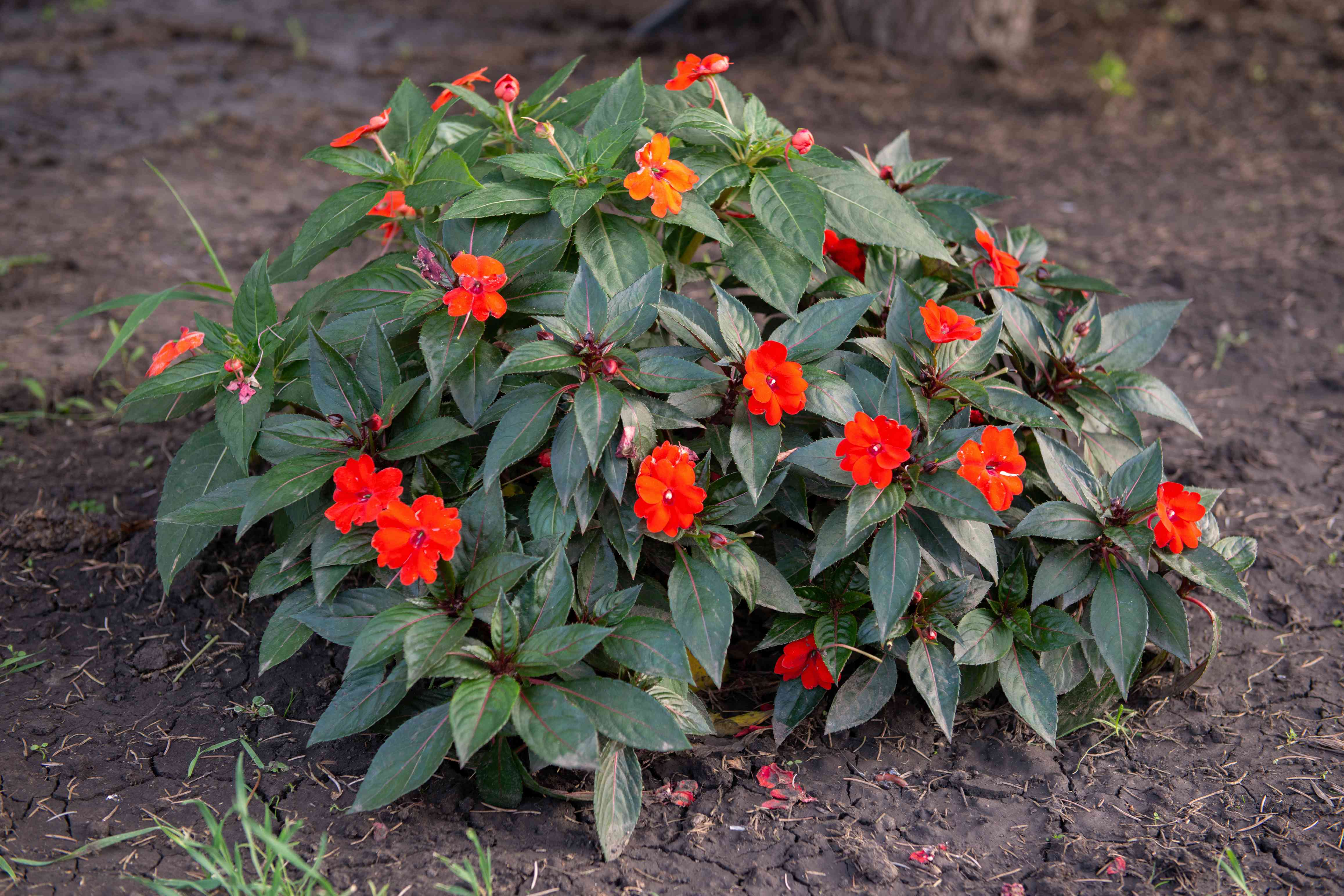 SunPatiens bush with bright red flowers and dark green leaves in middle of soil