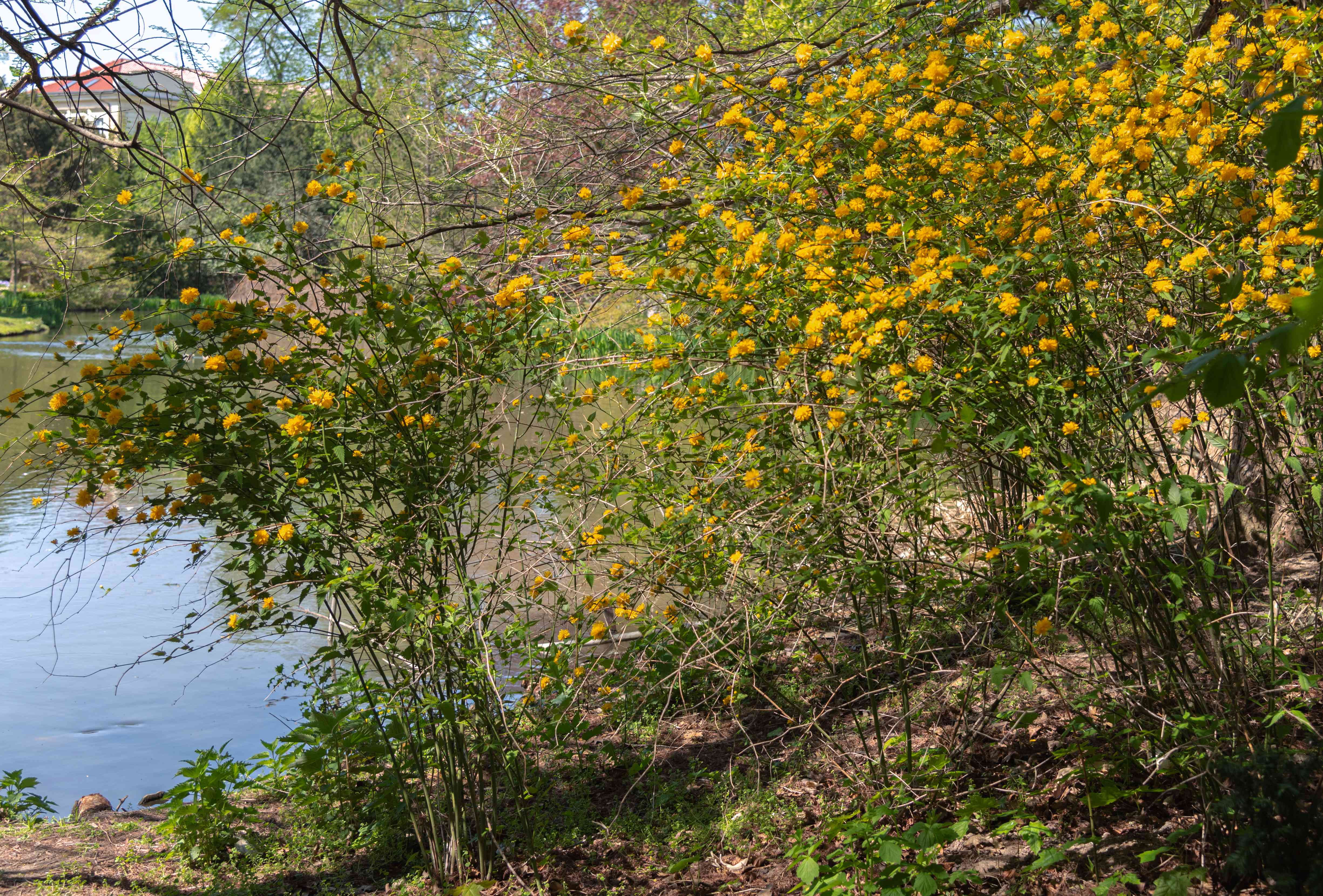 Japanese rose shrub with yellow flowers growing on tall branches next to lake