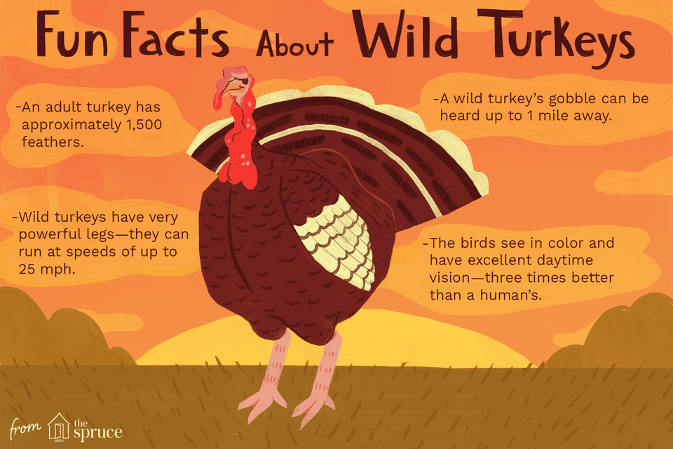 fun facts about wild turkeys illustration