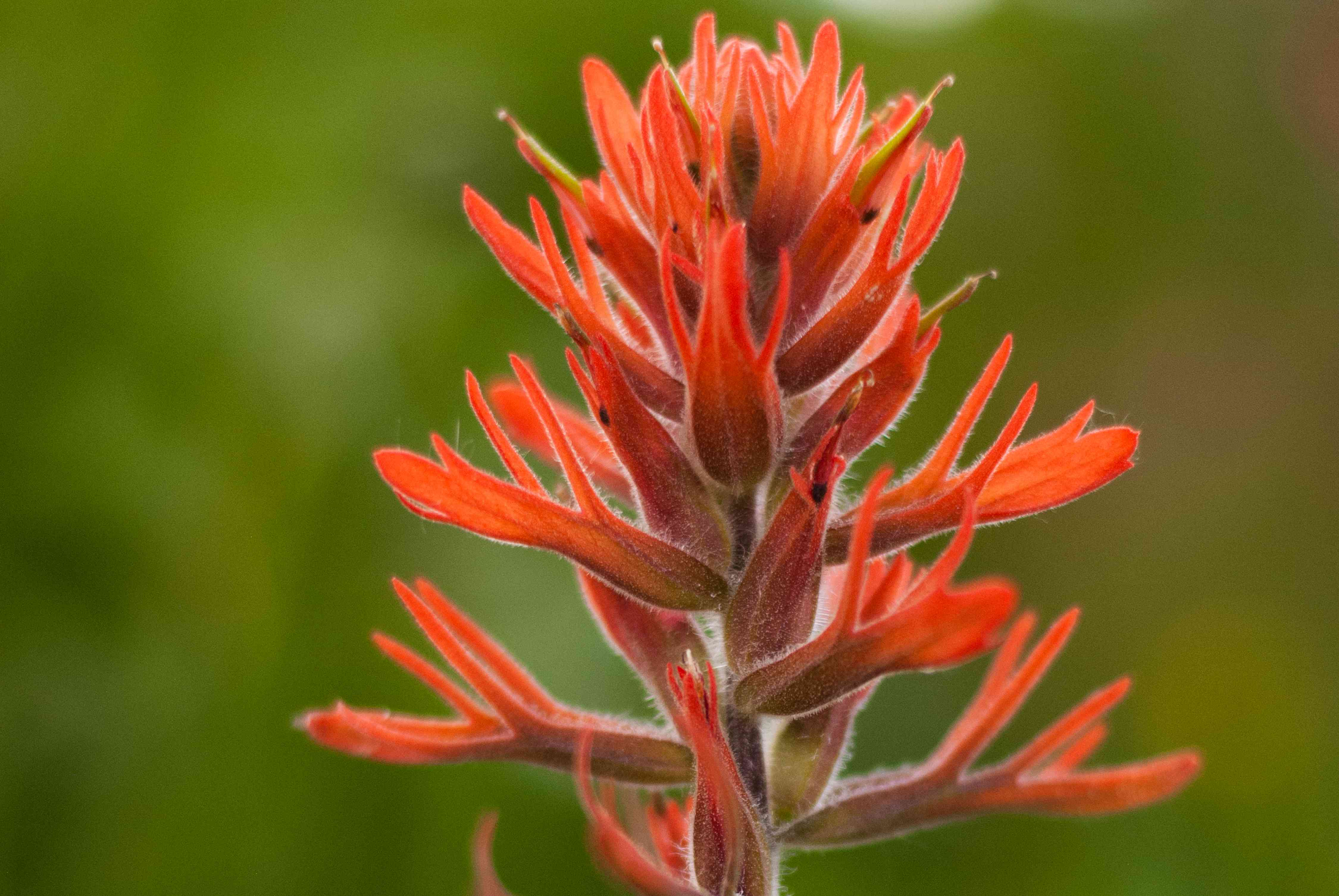 Scarlet painted cup plant flower with red-orange bracts closeup