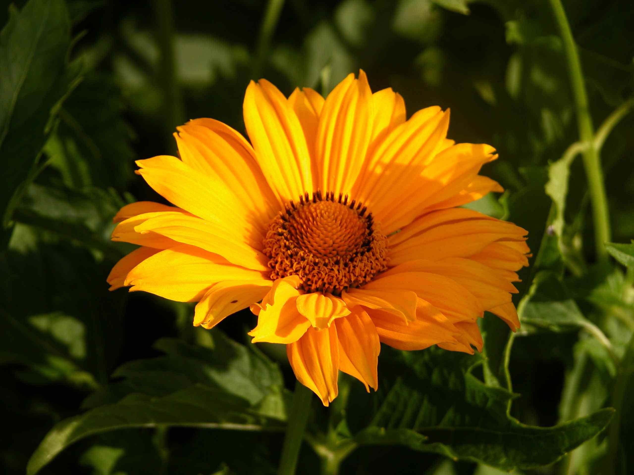 13 plants with daisy like flowers false sunflower heliopsis helianthoides izmirmasajfo