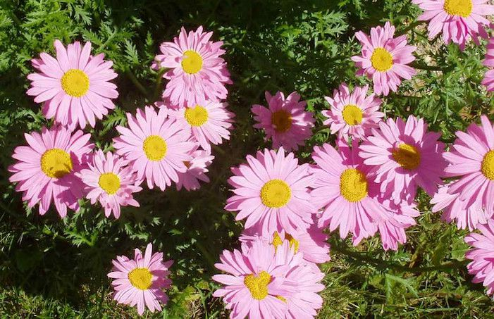 Bright pink daisy like flowers with bright yellow centers