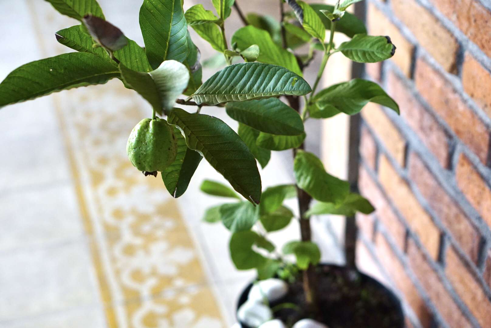 Guava fruit hanging on top of guava plant in pot