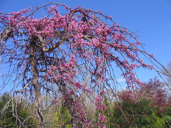 Pink blossoms on weeping tree against blue sky