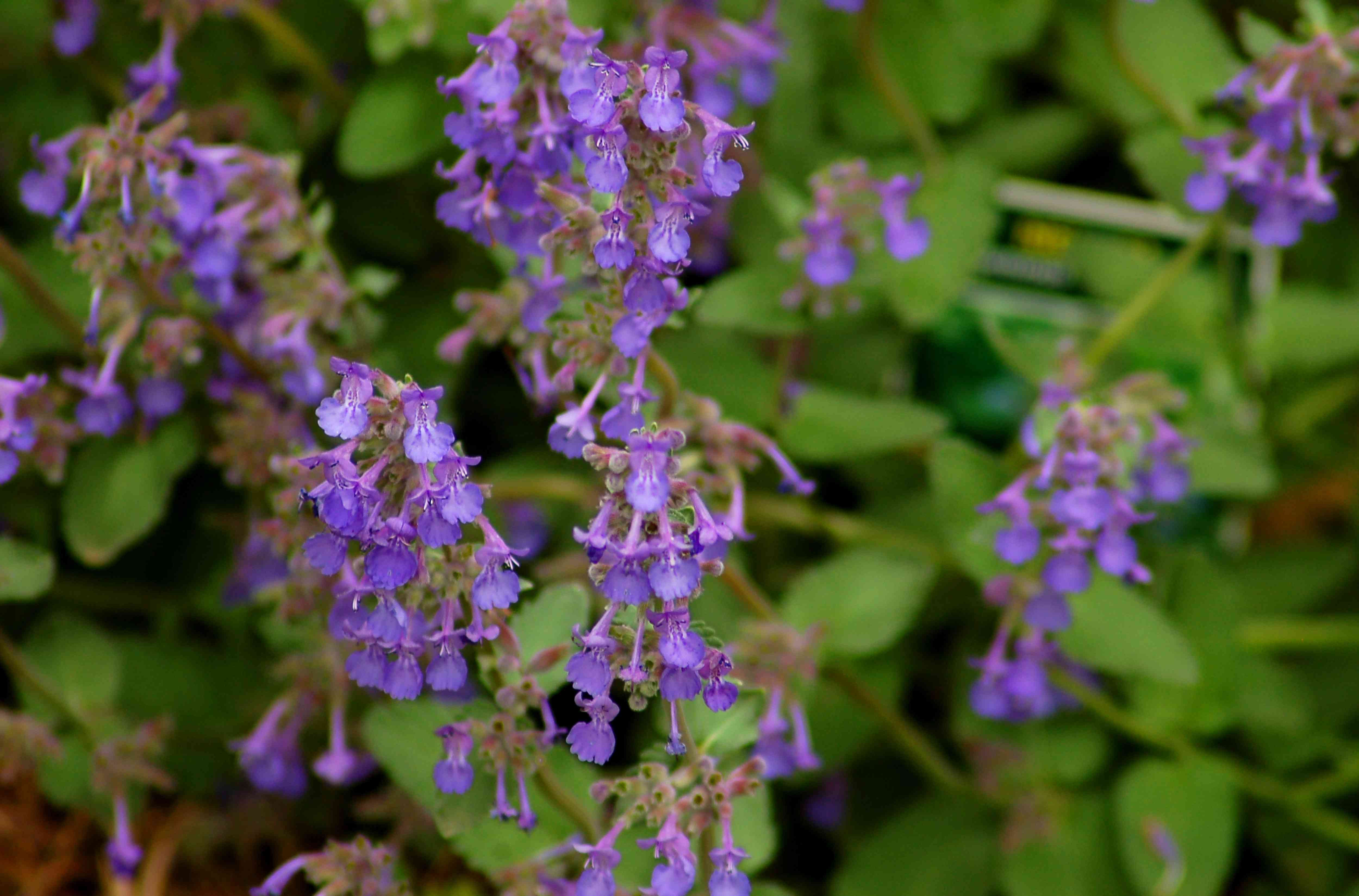 Little Titch catmint (image) is compact (compared to 6 Hills Giant, say). It has lavender blooms.