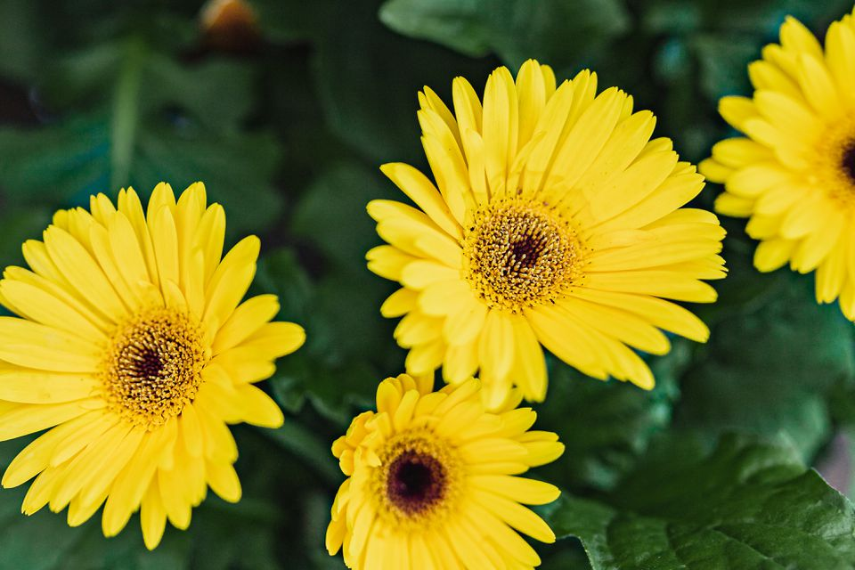 gerbera daisies can be bad for allergy-sufferers