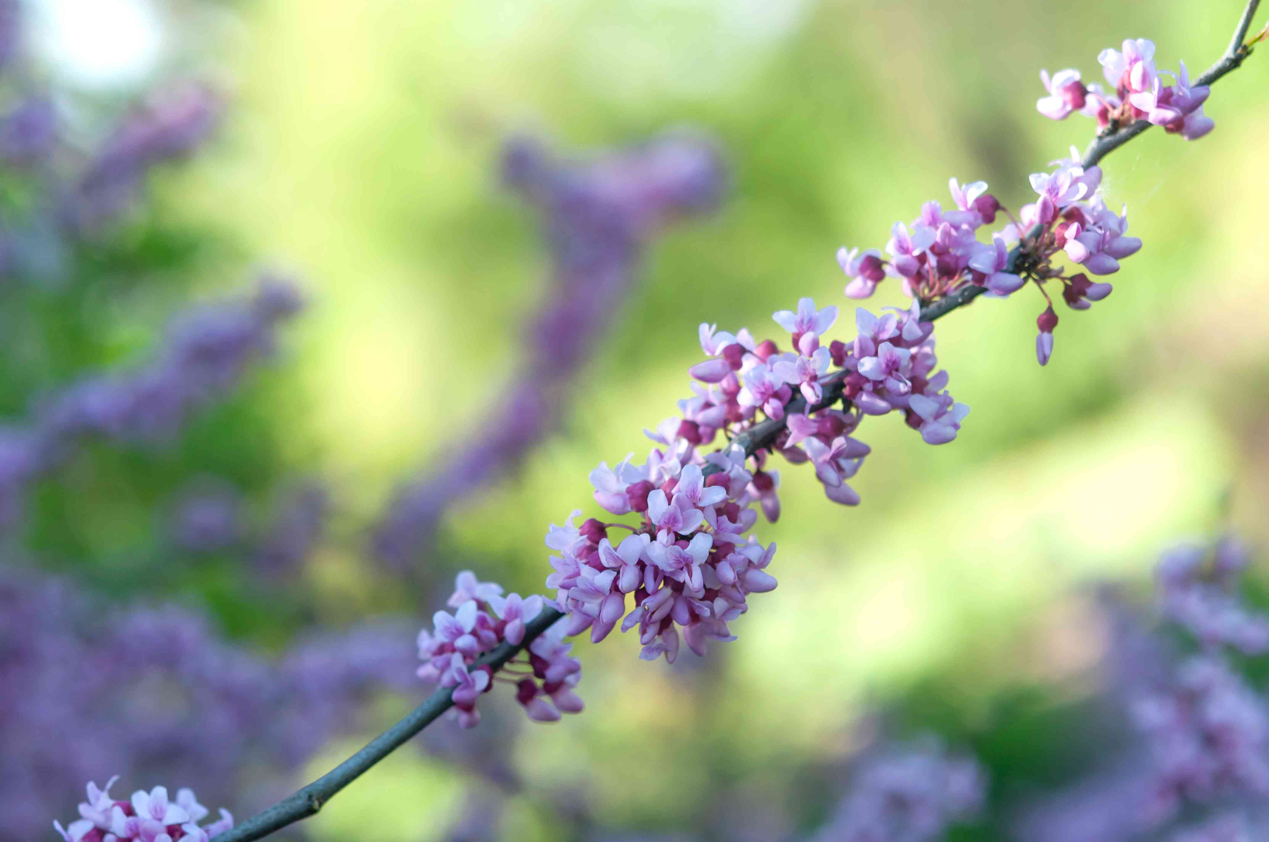 Eastern redbud tree branch with white and pink flowers in partial sunlight