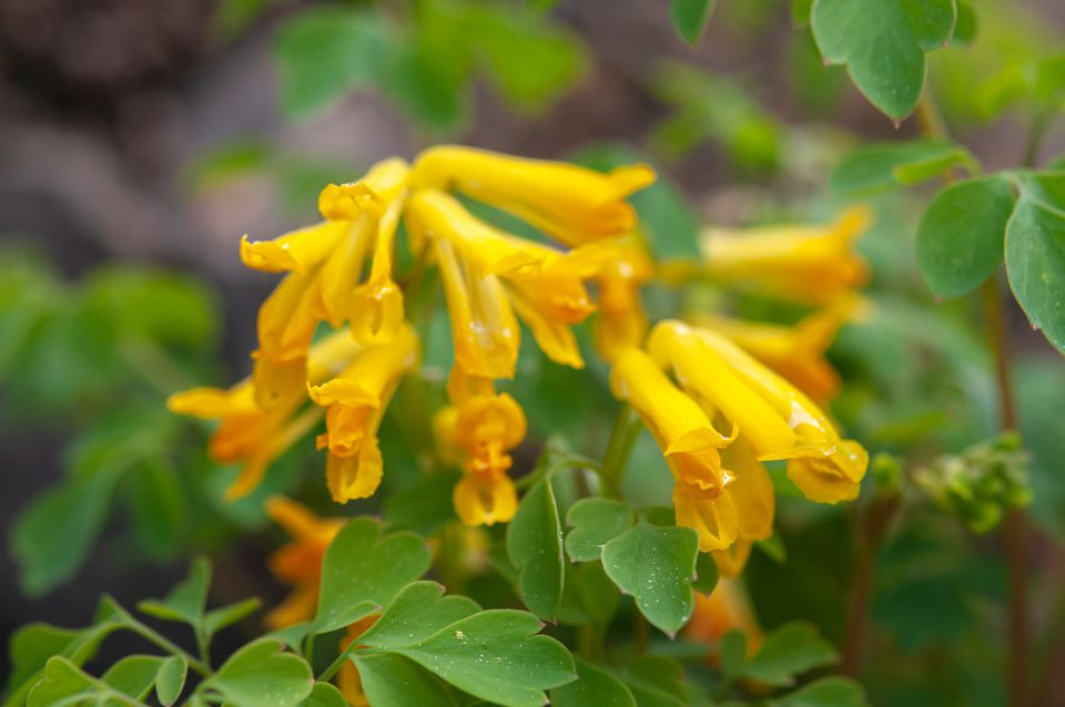 Yellow corydalis plants with long thing yellow flowers and fern-like leaves