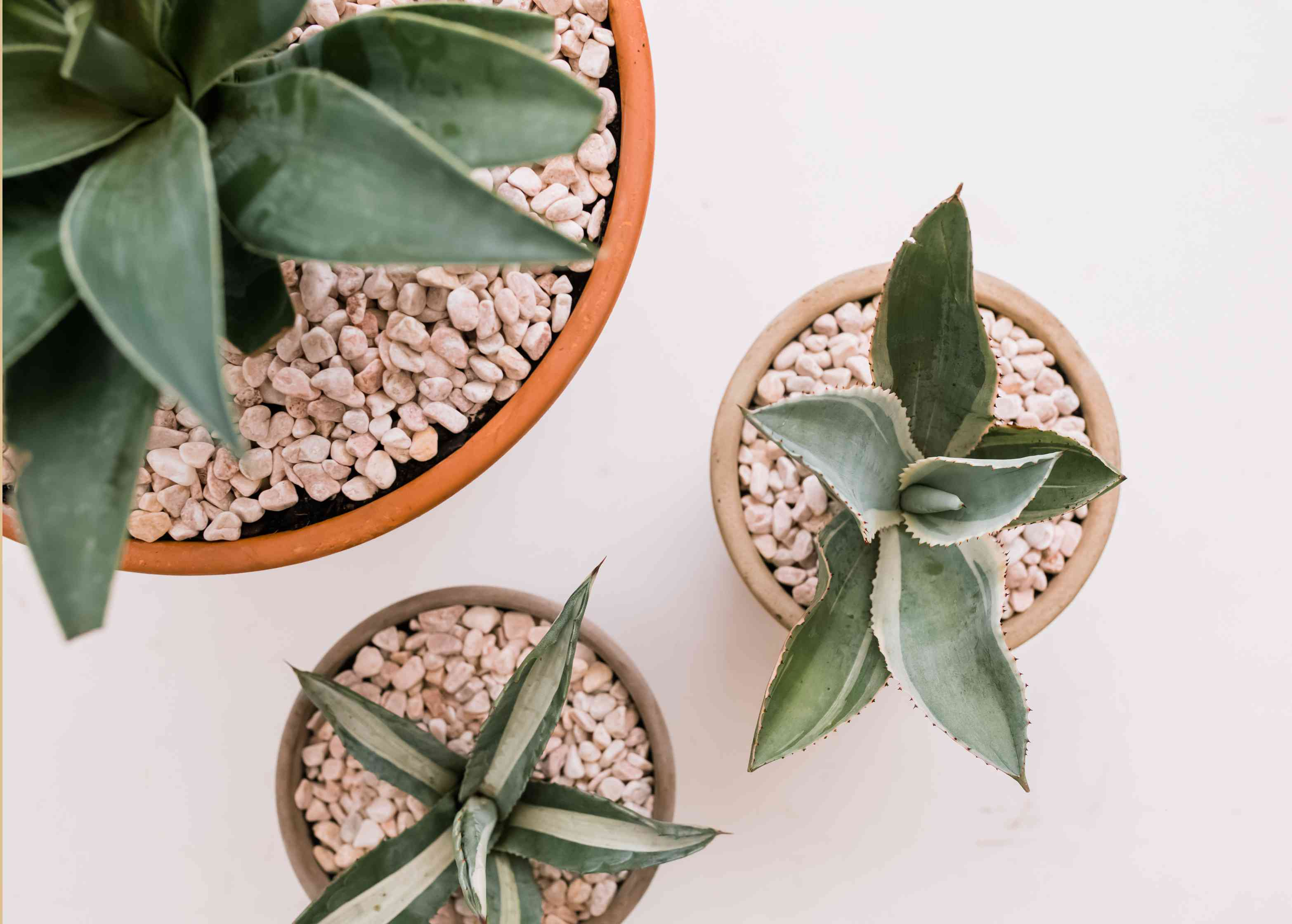 How To Grow Agave Indoors