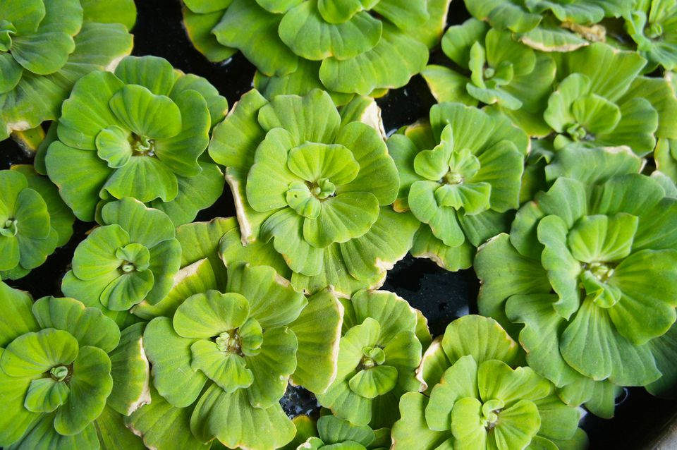 Water lettuce (Pistia stratiotes) floating in water