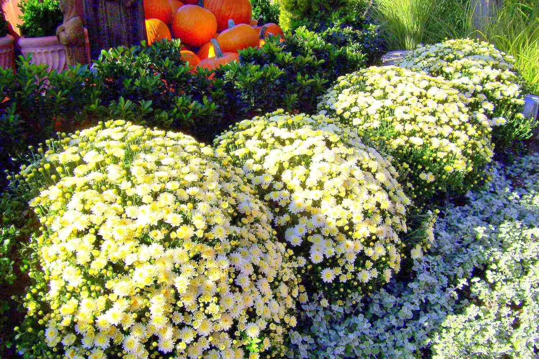 Arbustos de blanco crisantemos con calabazas