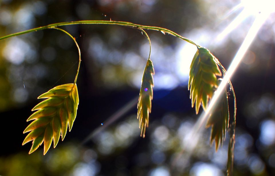 Seed-heads of sea oats grass.