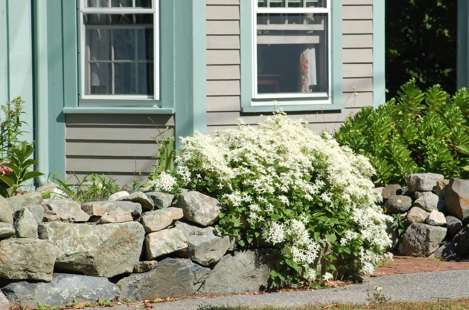 Sweet autumn clematis growing over window