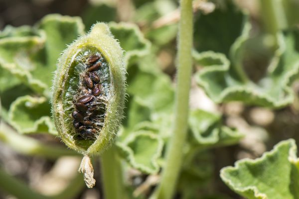 Squirting cucumber (Ecballium elaterium) fruit