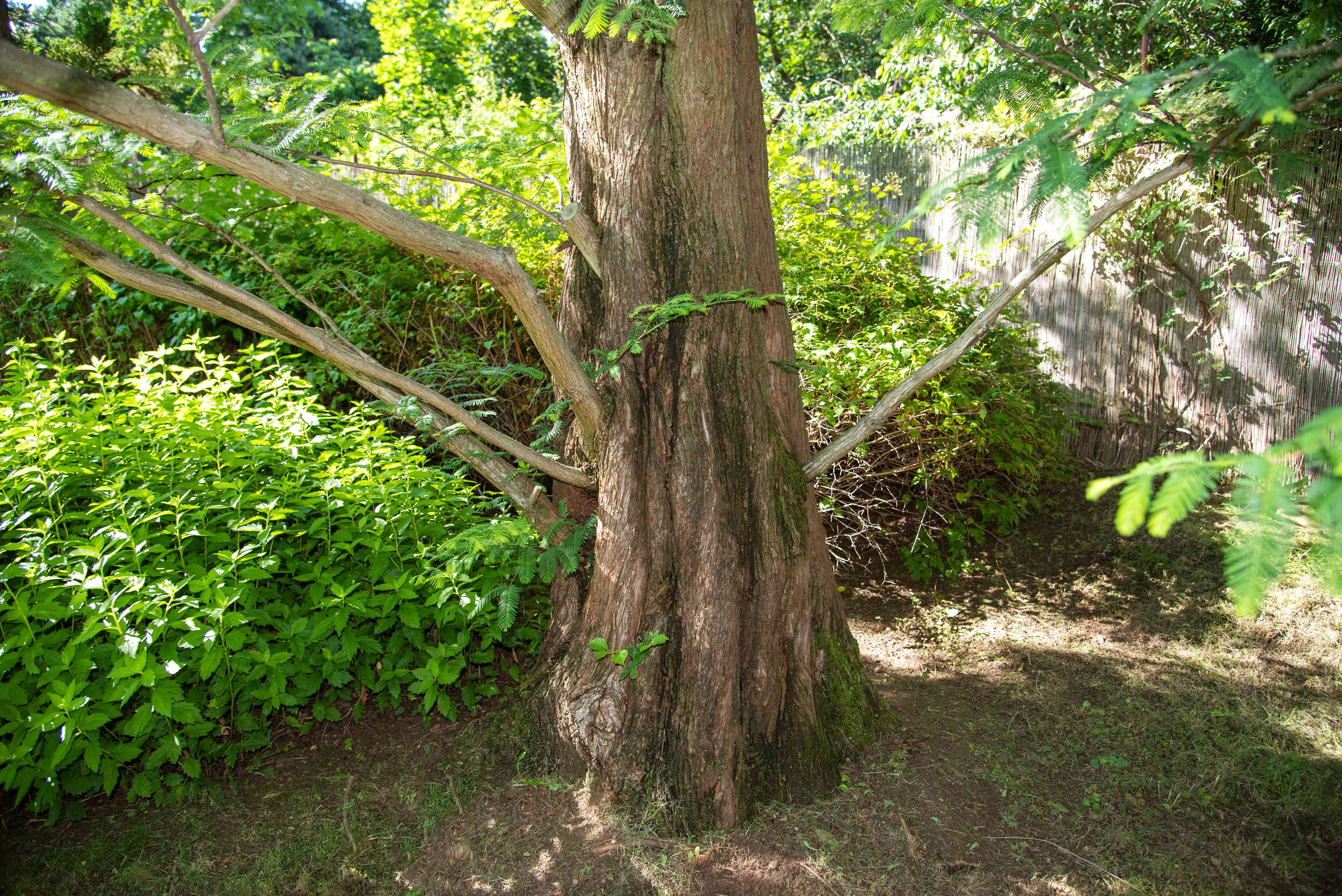 Dawn redwood tree trunk with wide flare and sprawling branches next to bushes