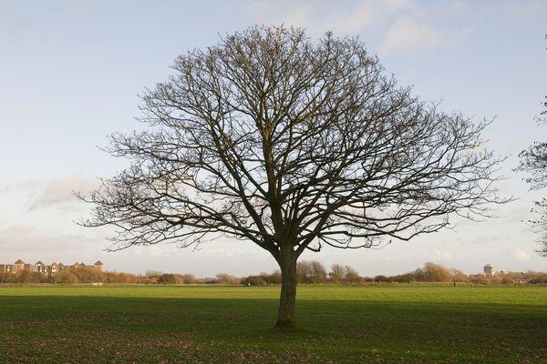 Maple tree in an open field.