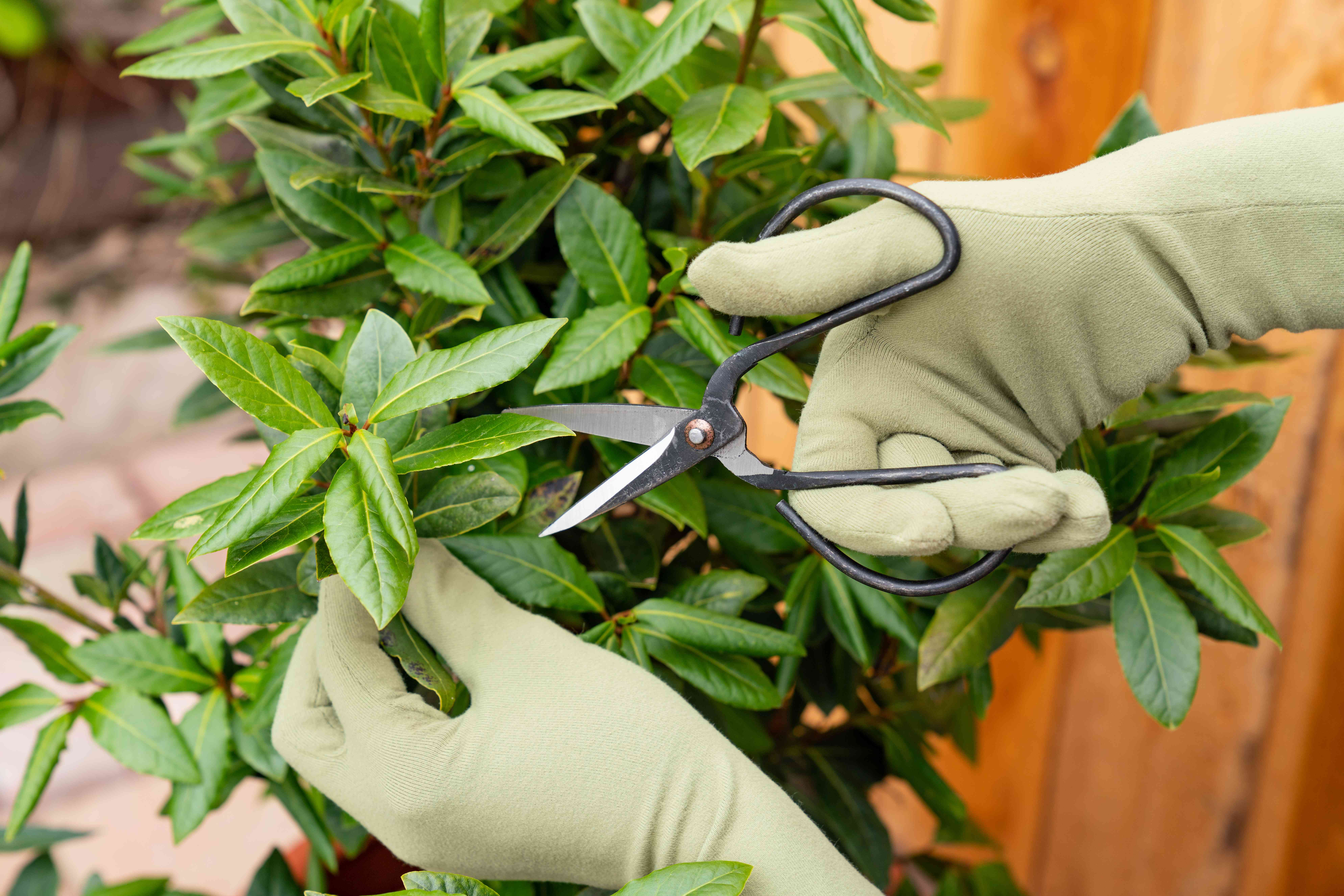 Bay laurel branch pruned with gardening scissors and gloves
