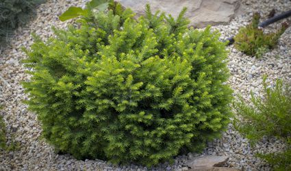 Dwarf conifer