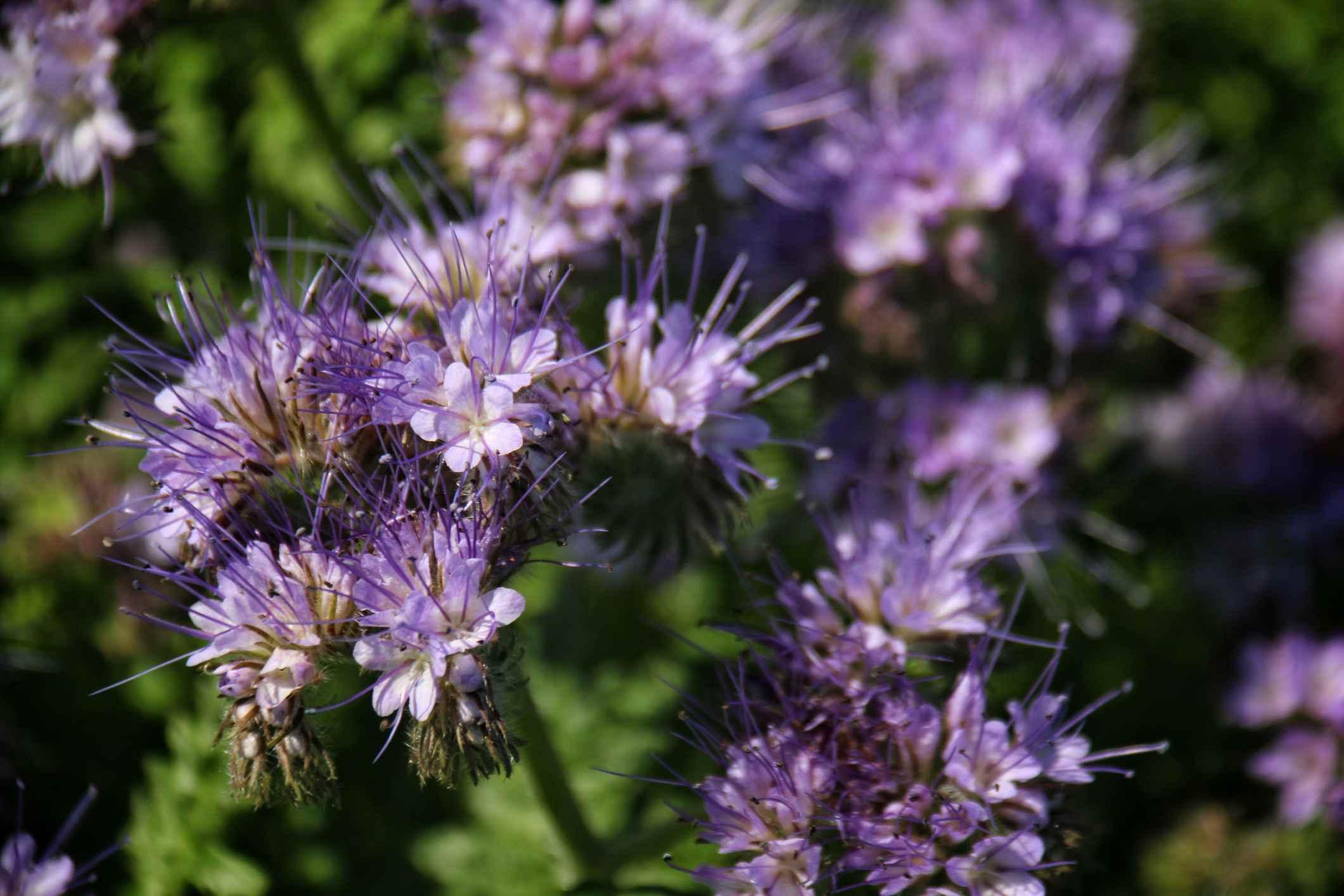 Escorpión-hierba (Phacelia) , Sedum (Stonecrop)