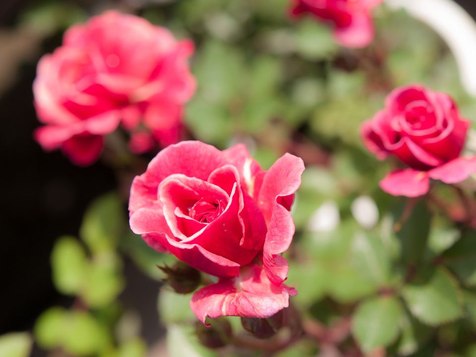 Kordana miniature roses