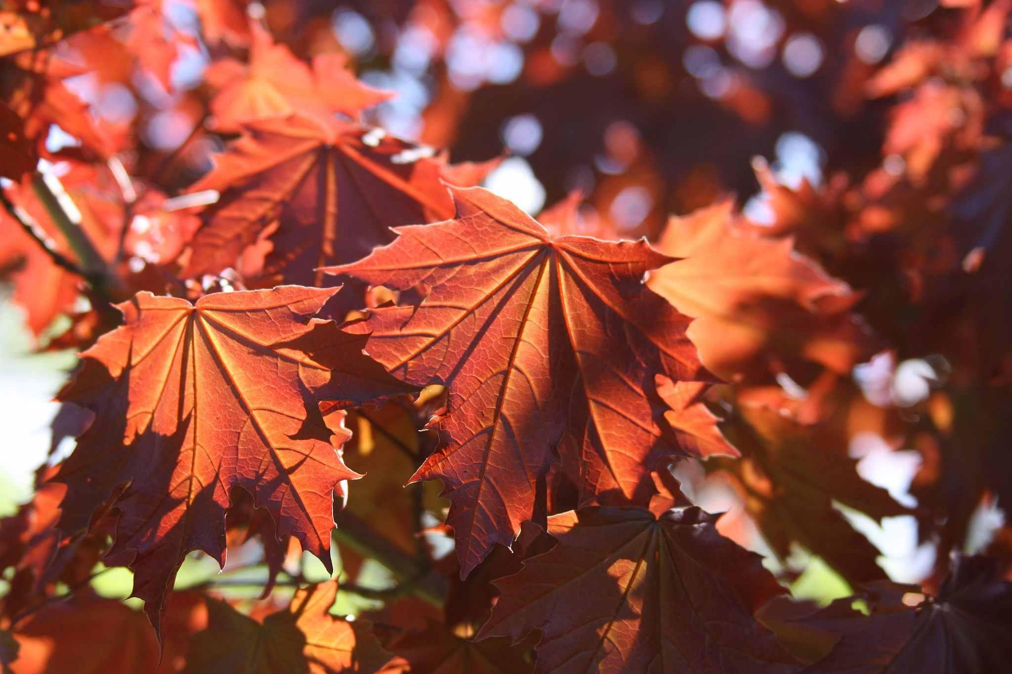 Acer Plantanoides