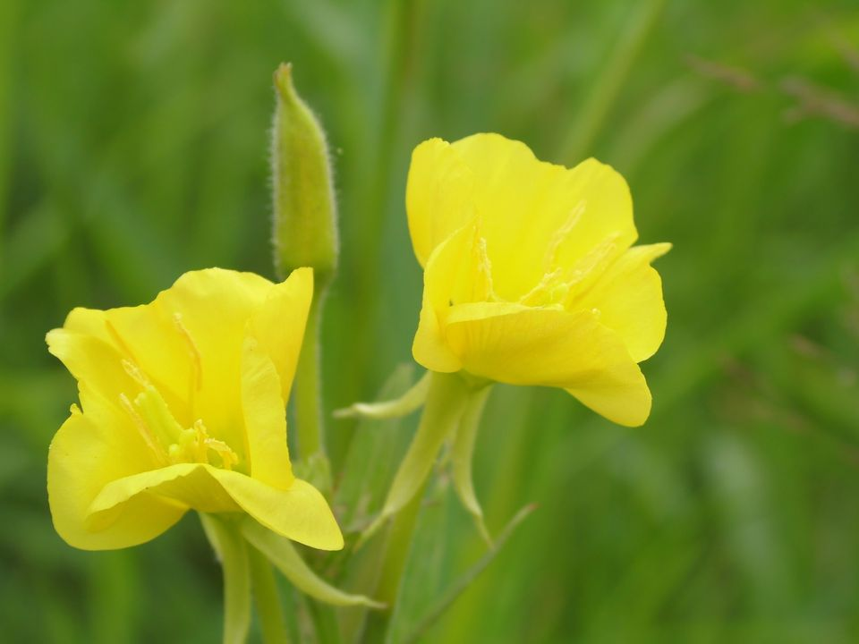 Evening primrose blooming with yellow flowers.