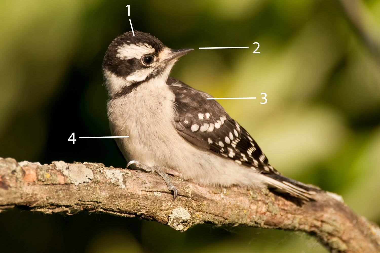 Pájaro carpintero juvenil
