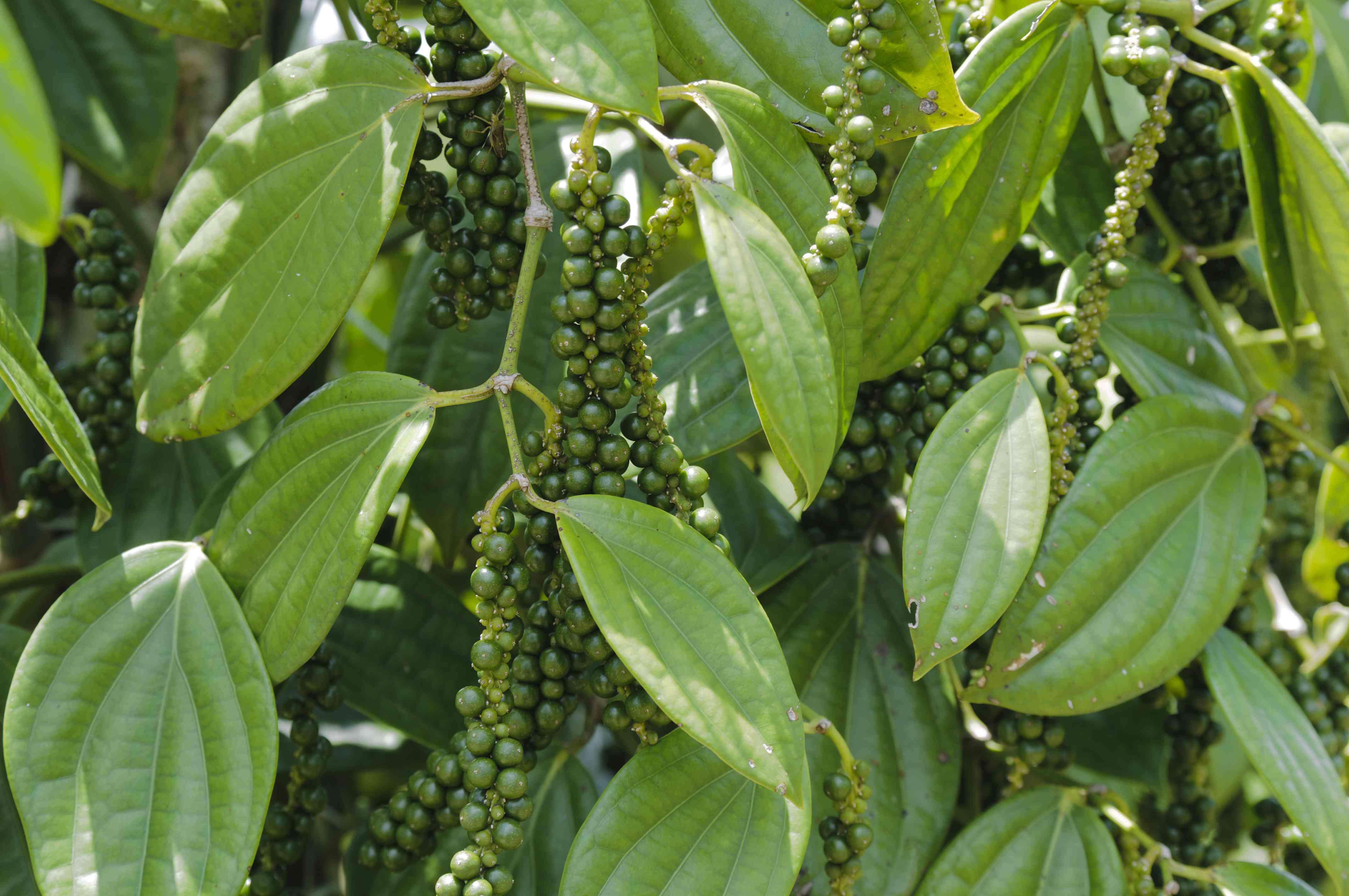 Pepper bush, Piper Nigrum