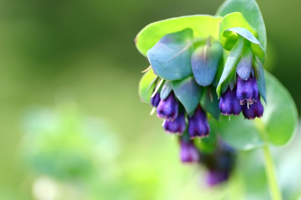 A cluster of honeywort blossoms are in focus in front of blurred out greenery.