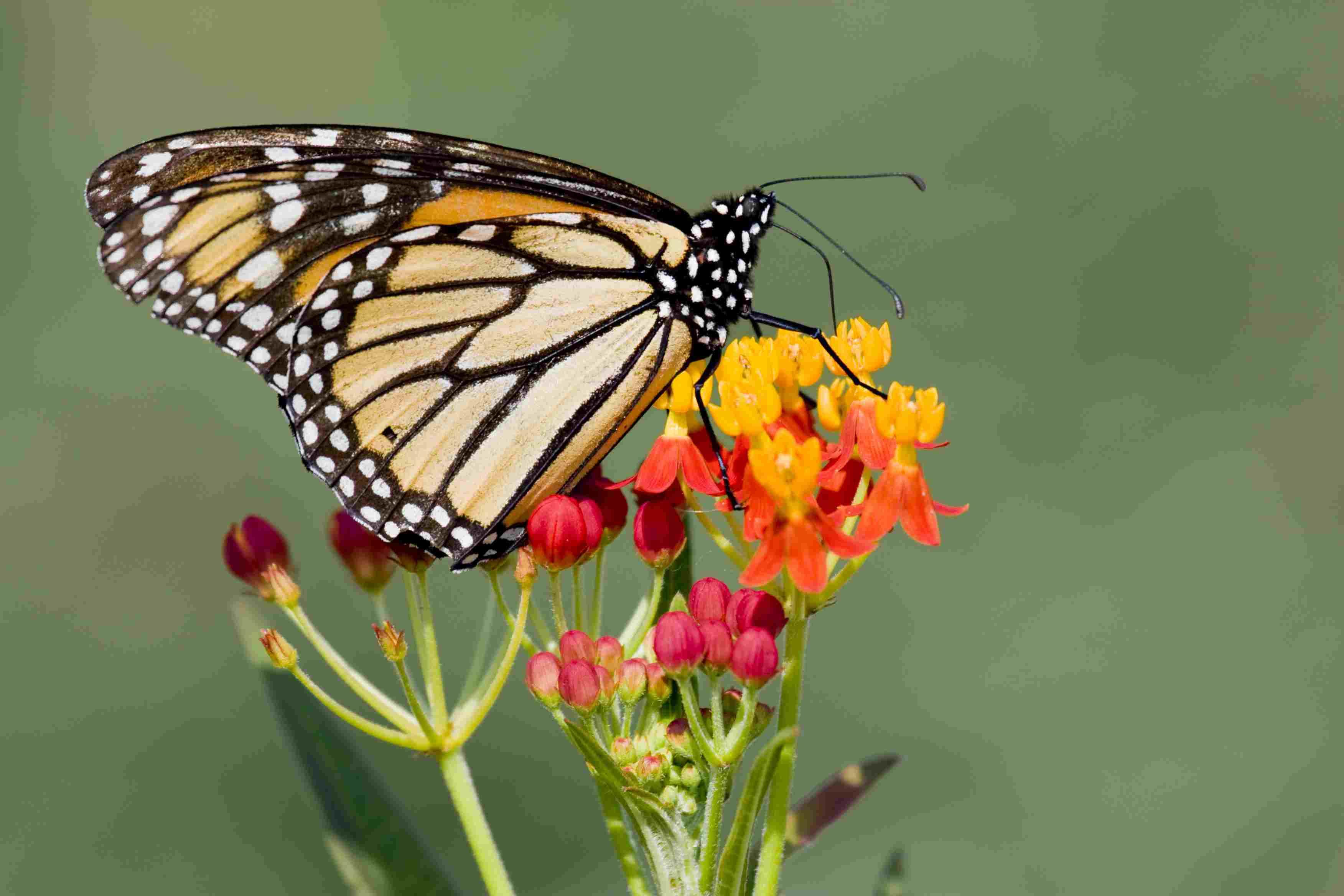 Monarch Butterfly on Lantana Flowers