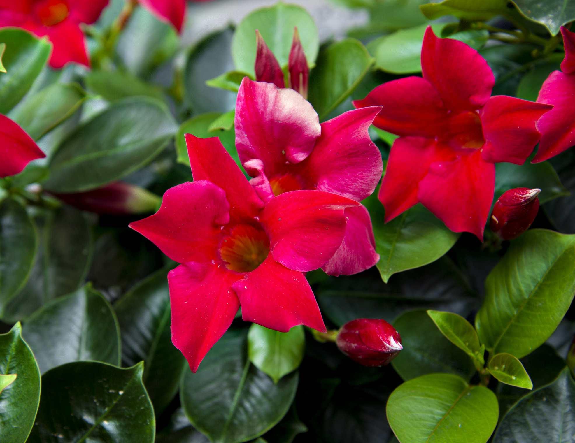 Red Mandevilla flowers in bloom.
