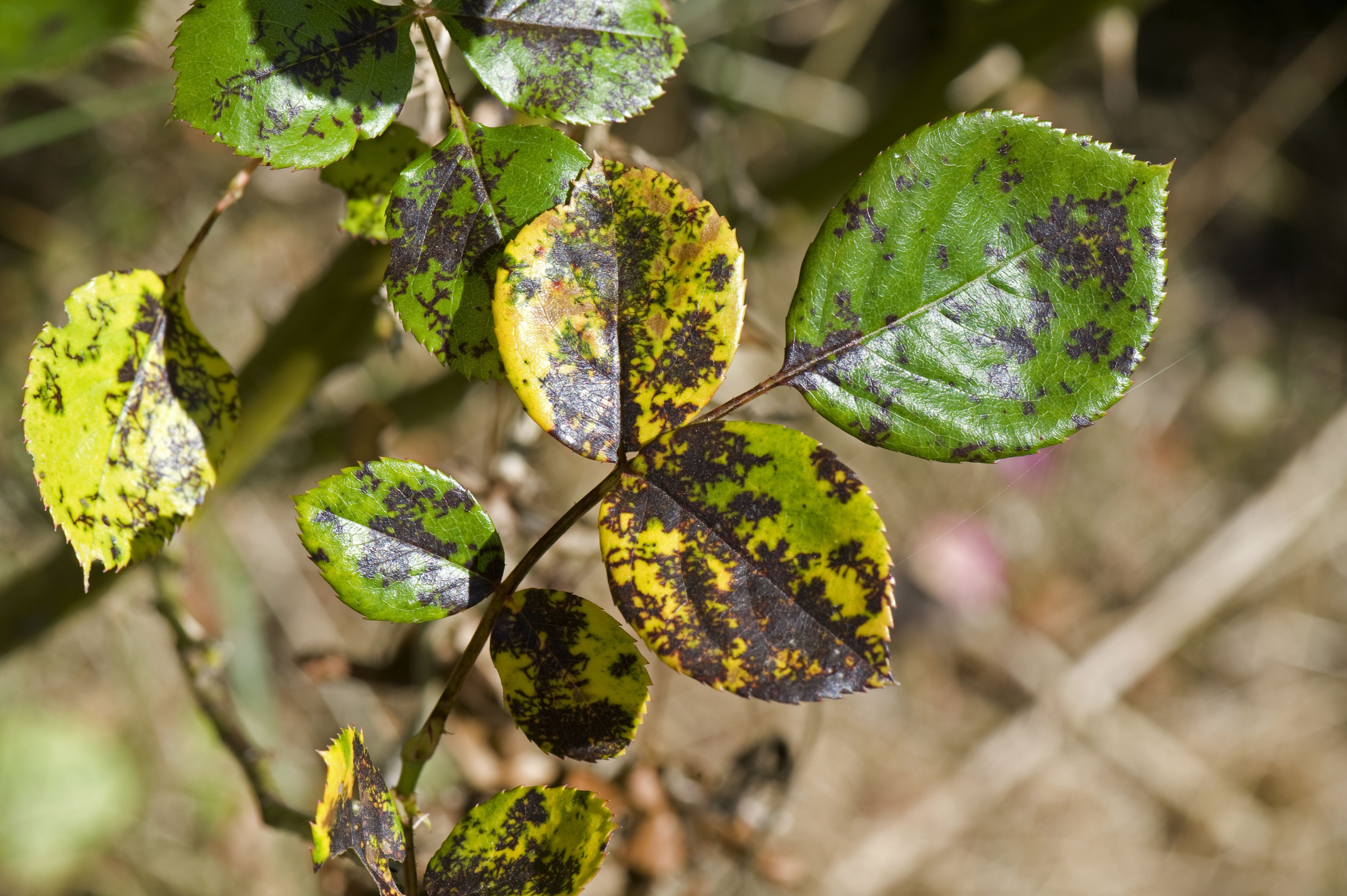 Dealing With Types Of Rose Diseases