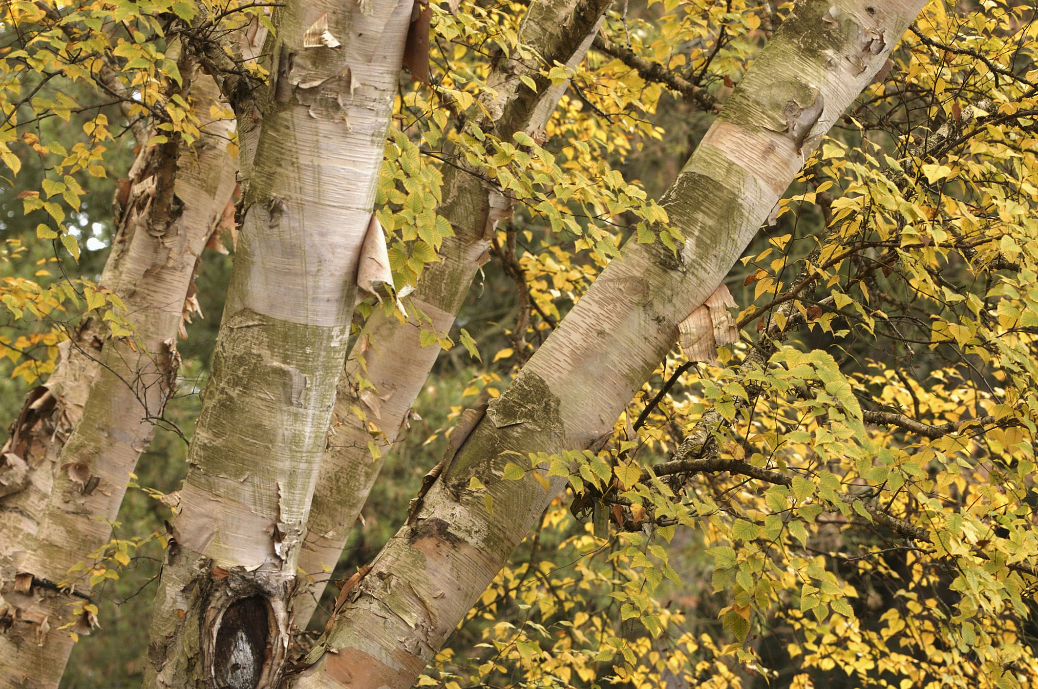 Paper birches with peeling bark and fall leaves.