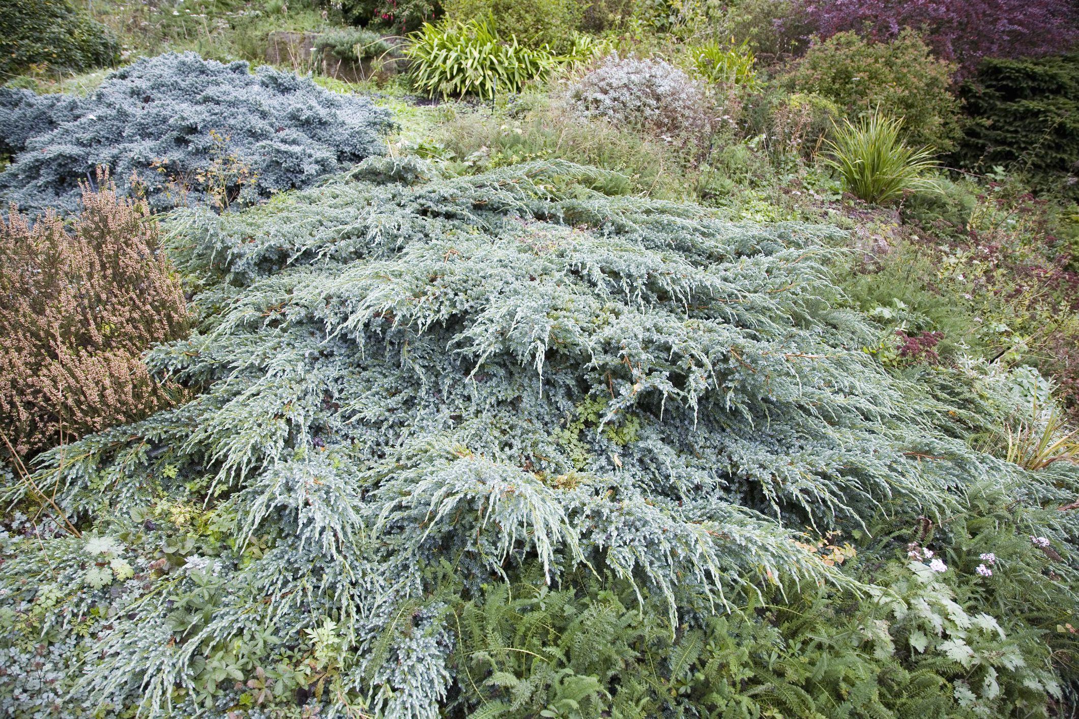 Juniperus Squamata (Juniper horizontalis) and Heather grown as ground cover
