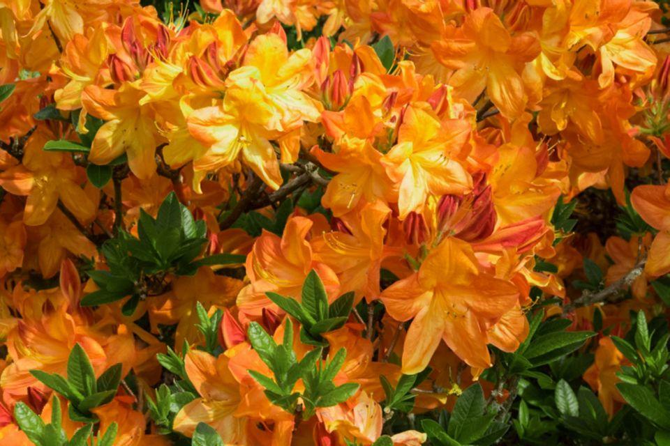 Gibraltar azalea flowering shrub with funnel-like orange petals in trusses