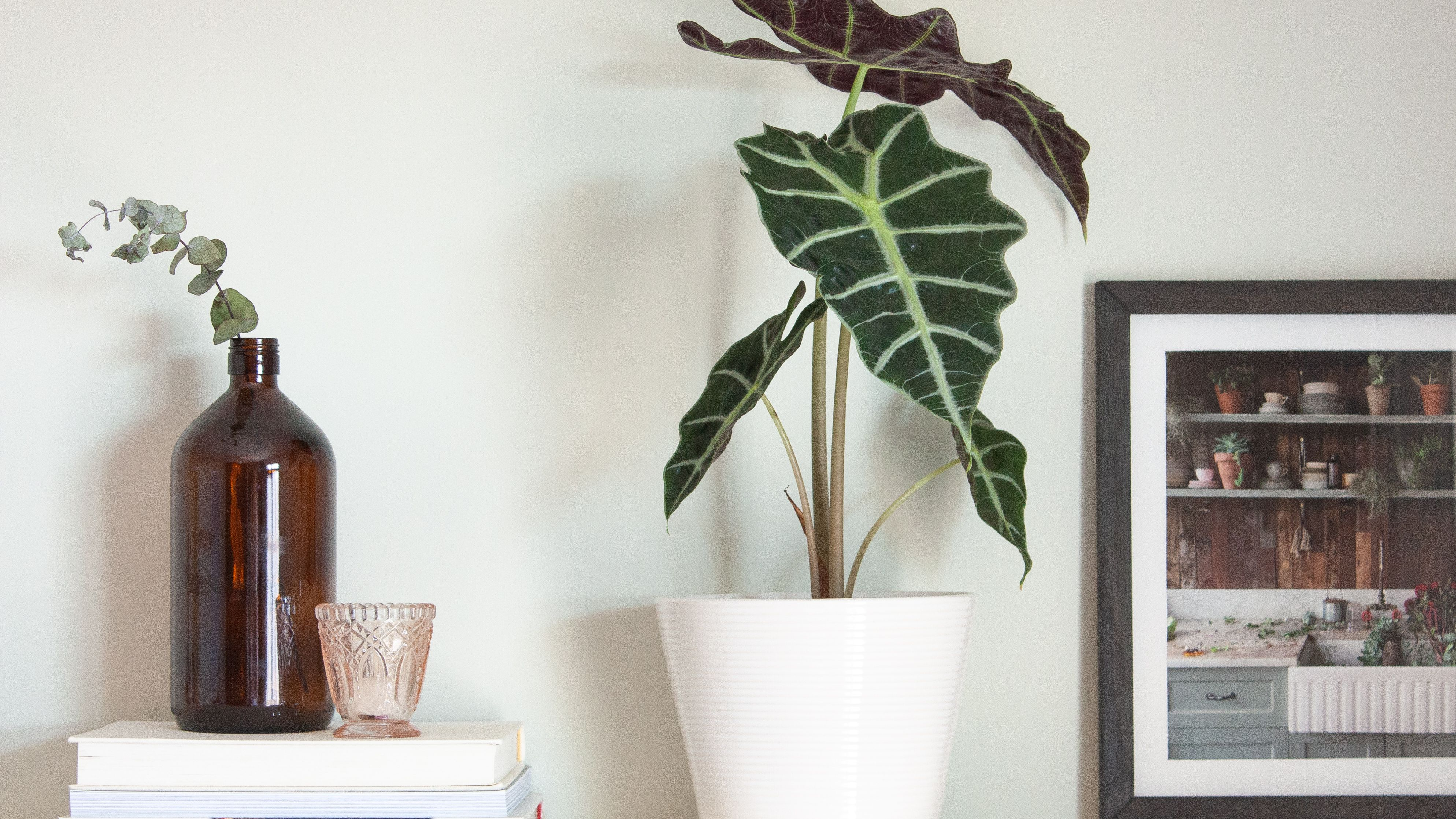 Amazon Elephant S Ear Plant Care And Growing Tips