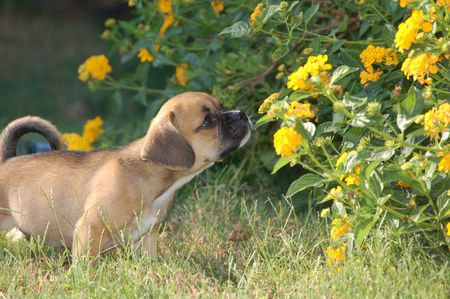 Puppy sniffing flowers in the yard.