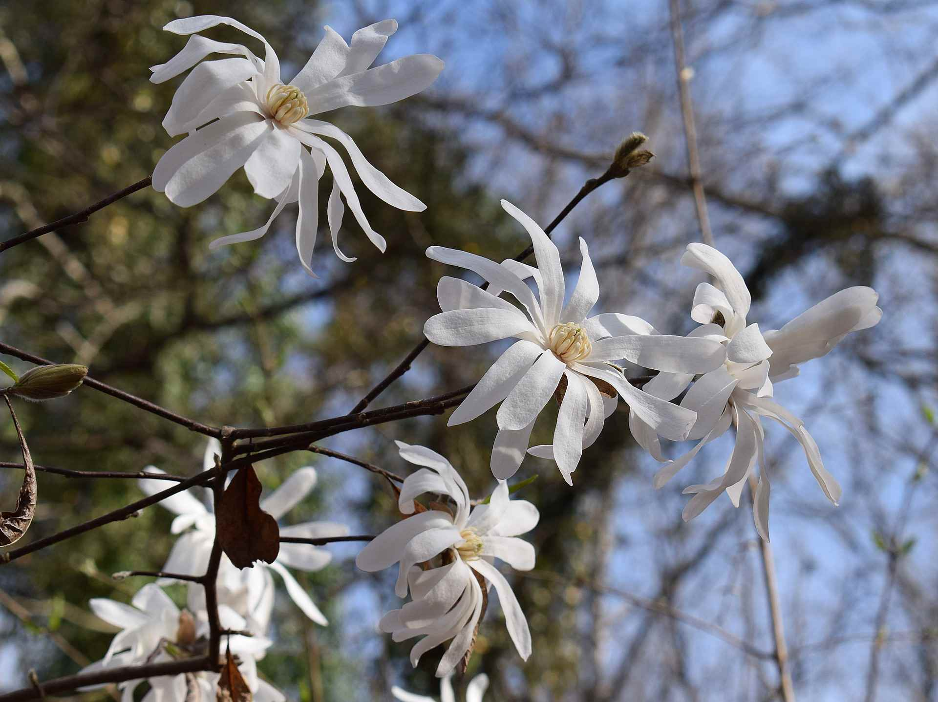 Star Magnolia Trees