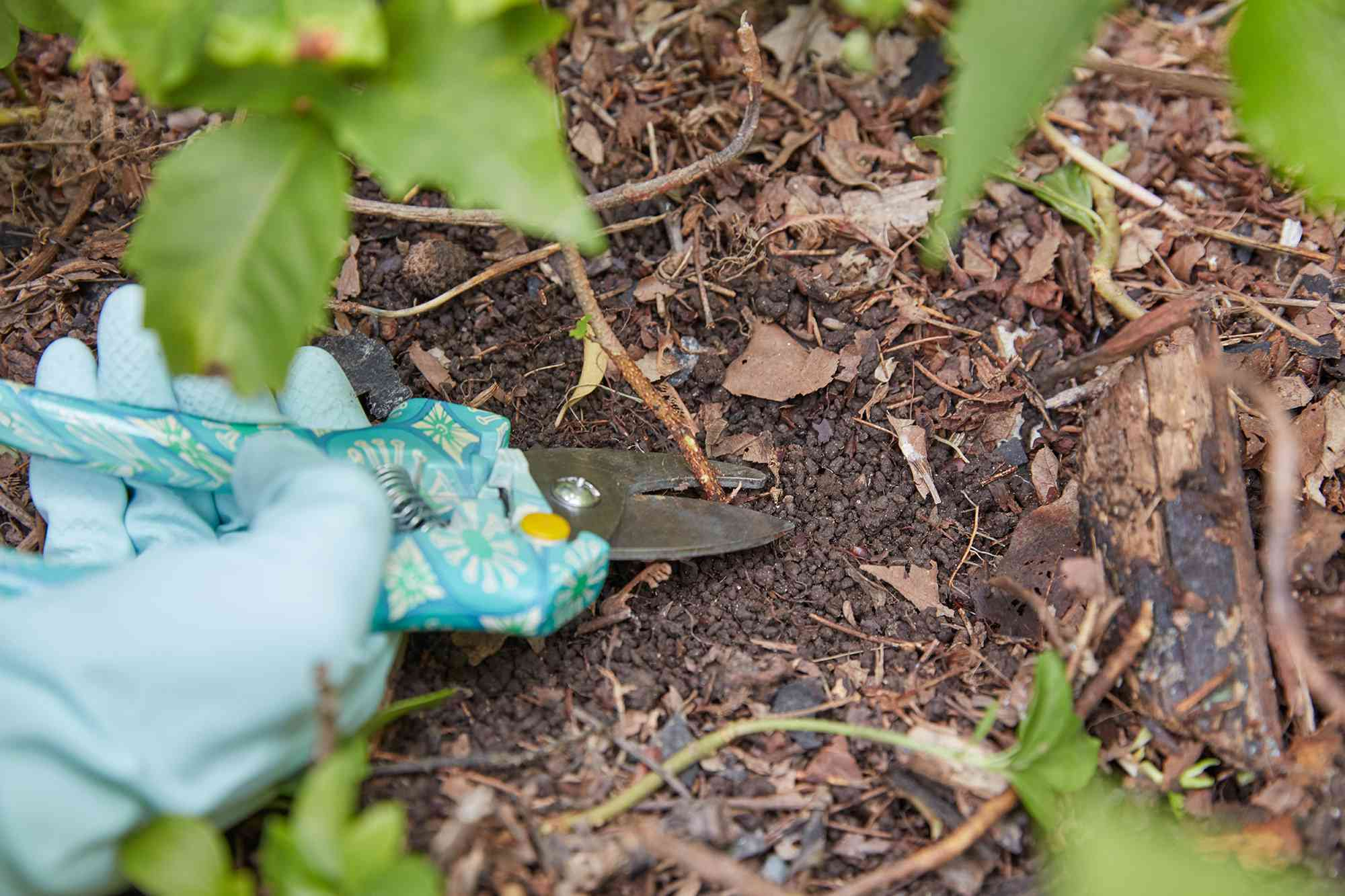 Poison ivy plant stem cut off at ground level with handheld pruners and rubber gloves