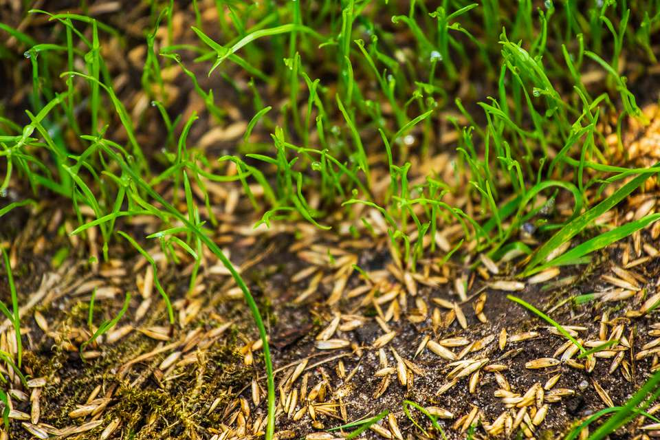 Grass seed sprouting.
