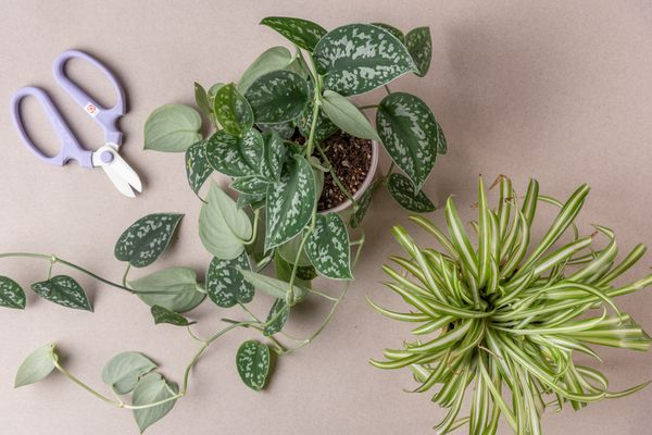 rotting stem cuttings