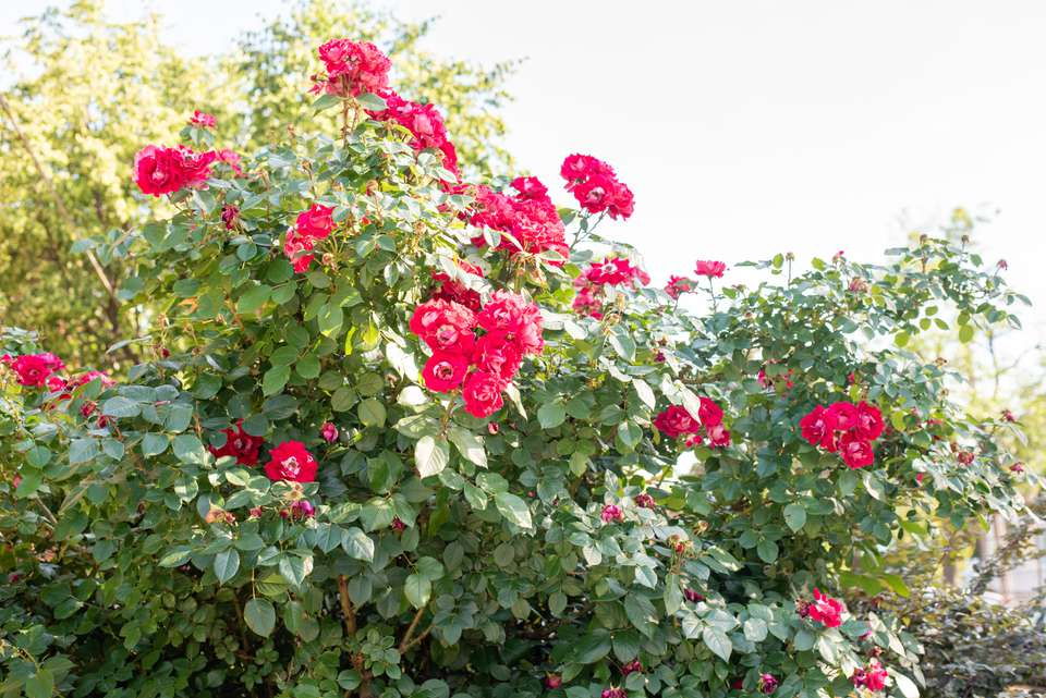 Candy oh rose bushes with large pink flowers on ends of tall stems
