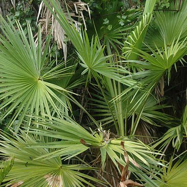 Saw palmetto with green fronds