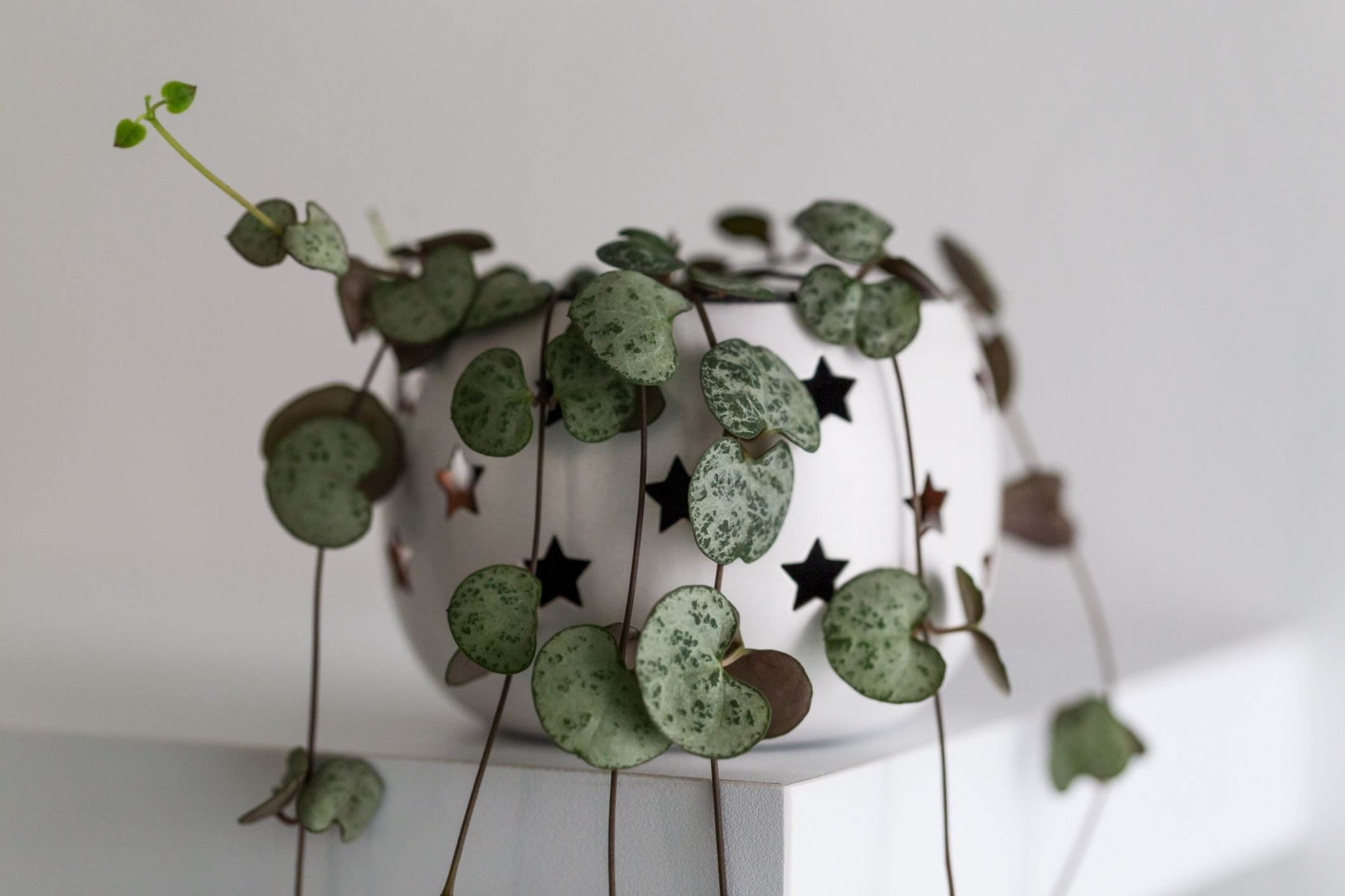 String of hearts (Ceropegia woodii) in a white pot with star cutouts on top of a white shelf.