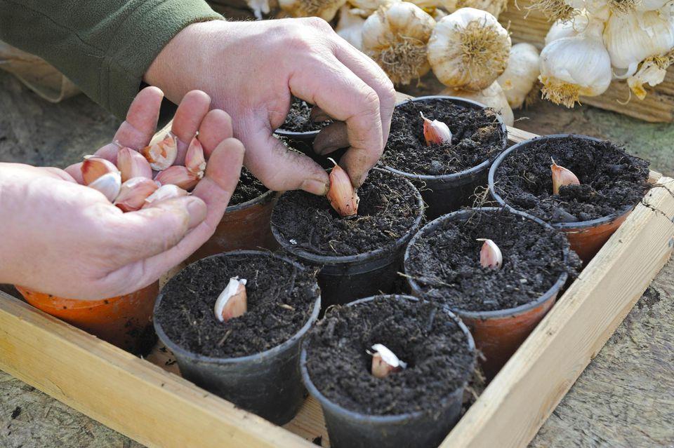 Gardener Planting Garlic Cloves (Allium) in Compost Filled Pots